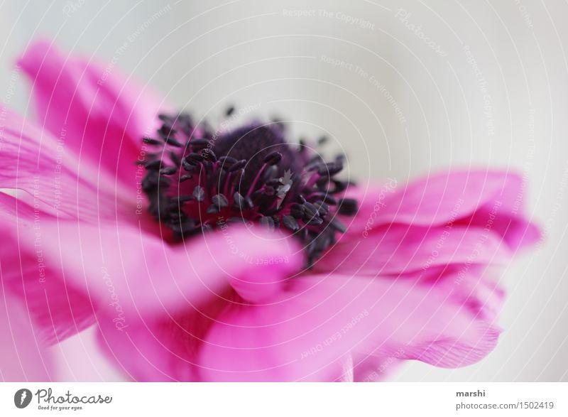 magenta Umwelt Landschaft Pflanze Blume Blatt Blüte Wildpflanze Topfpflanze exotisch Stimmung violett schön Frühling Frühlingsgefühle zart Garten Farbfoto