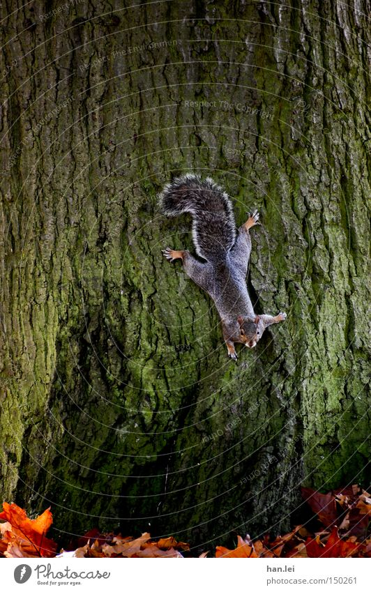 Grauhörnchen Baum Blatt Tier Klettern Säugetier falsch Baumrinde kleben Eichhörnchen Nagetiere