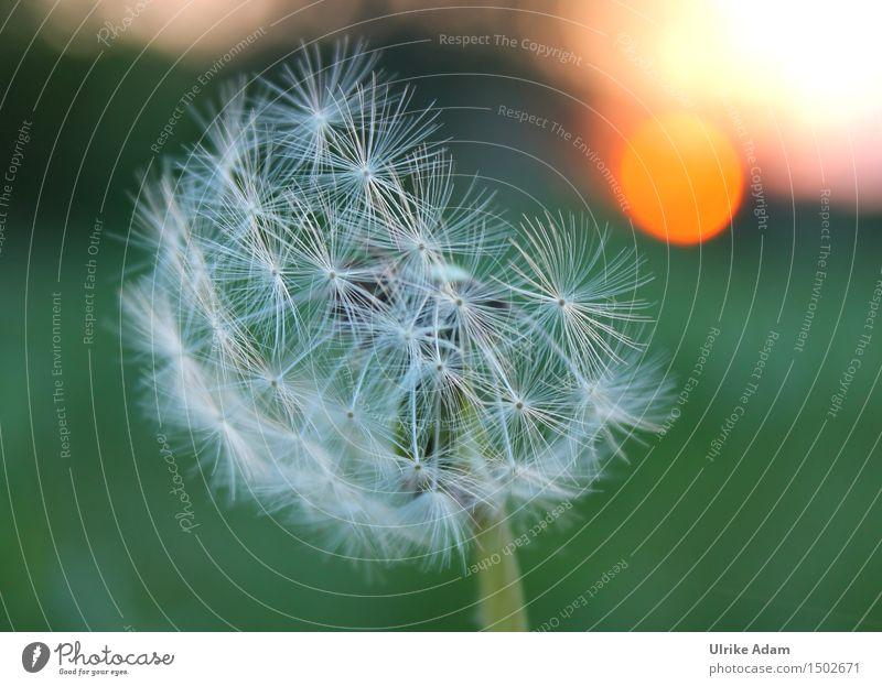Pusteblume im Abendlicht Natur Pflanze grün schön Sommer weiß Sonne Blume ruhig Wärme Blüte Wiese natürlich Kunst orange Zufriedenheit