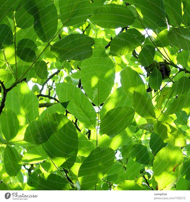 Extrablatt Natur grün schön Sommer Blatt Frühling Wachstum frisch Wind Ast rein Zweig Baumkrone Blattadern Geäst Kastanienbaum