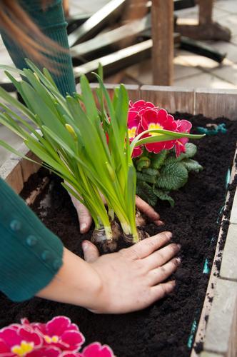 Pflanzzeit Freizeit & Hobby Garten Gartenarbeit Hand Erde Frühling Sommer Pflanze Blume Blüte Topfpflanze Balkon Terrasse Arbeit & Erwerbstätigkeit Narzissen
