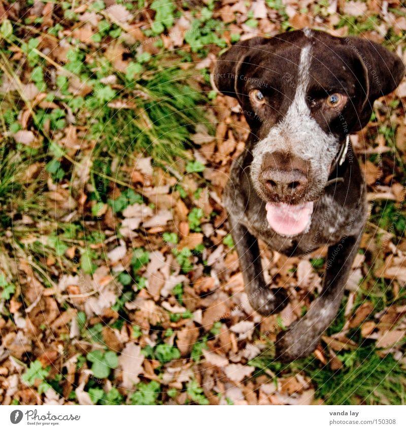 Männchen machen für den guten Zweck Hund Natur Tier Blatt Herbst Wunsch Konzentration Jagd Wachsamkeit vertikal Säugetier Vorfreude herbstlich Jagdhund