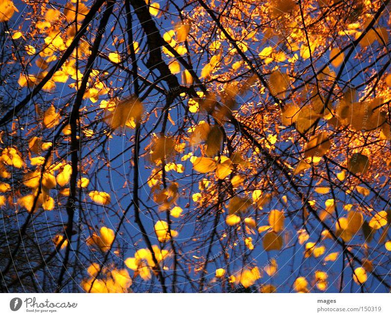 Goldlaub schön Himmel Baum Blatt gelb Herbst Beleuchtung gold Linde goldgelb