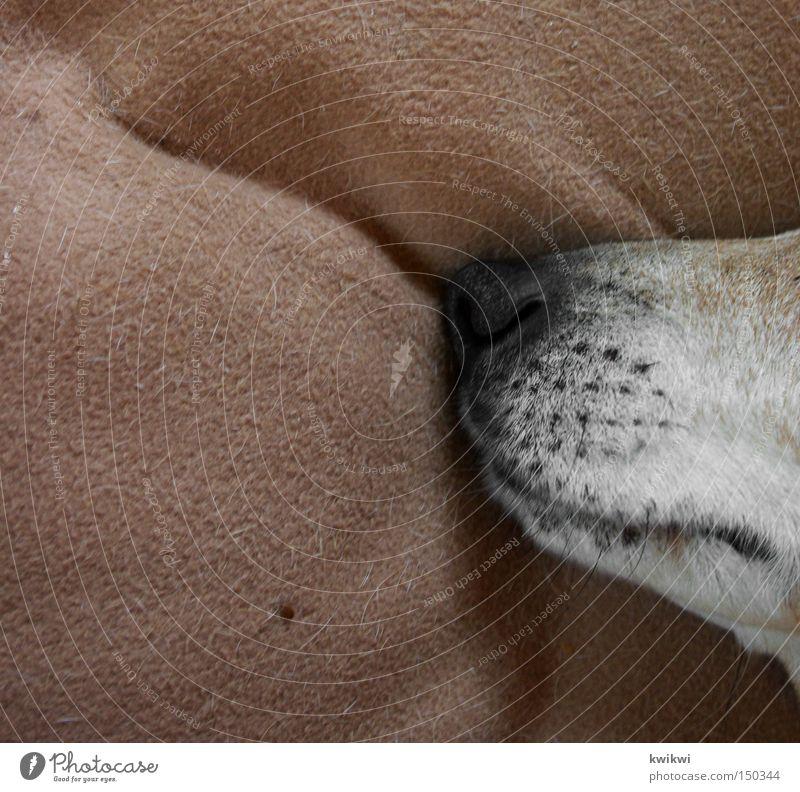 der dicke schlummert Tier Hund Nase schlafen Gesäß Küche liegen Hinterteil Liege Geruch Säugetier Decke Haustier Maul Schnauze
