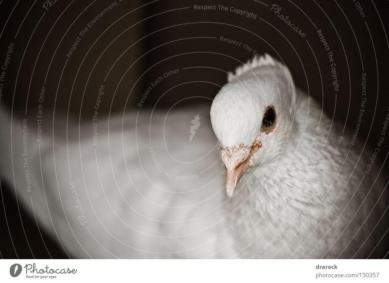 Schöne Taube Gedeckte Farben Außenaufnahme Nahaufnahme Makroaufnahme Menschenleer Tag Starke Tiefenschärfe Vorderansicht Blick Tier Vogel Tiergesicht Flügel 1