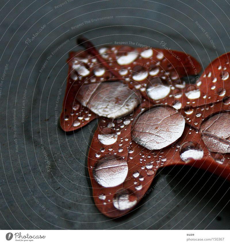 Nach dem Regen Natur schön Blatt Herbst grau braun Wassertropfen nass rein Klarheit natürlich außergewöhnlich durchsichtig Herbstlaub Eichenblatt