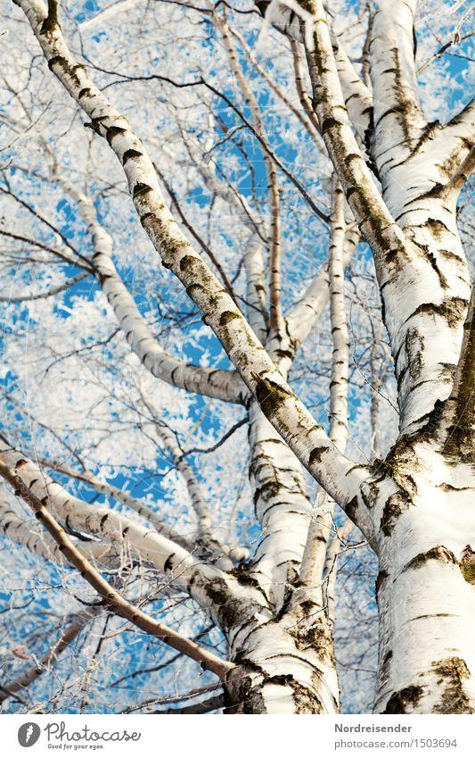 Birken Natur Pflanze Himmel Wolkenloser Himmel Winter Schönes Wetter Eis Frost Baum Wald frisch kalt natürlich blau weiß bizarr rein Baumstamm Ast Birkenrinde