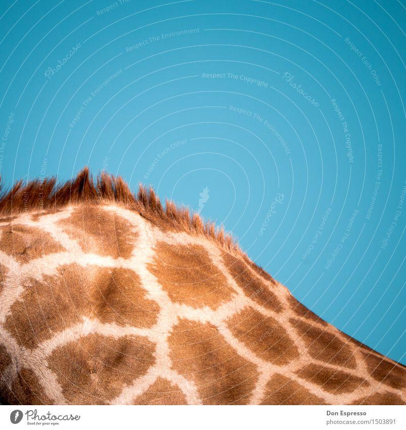 Fell Safari Natur Tier Wildtier Giraffe 1 weich Afrika Namibia scheckig Muster Irokesen-Schnitt Etoscha-Pfanne Kalahari Farbfoto Außenaufnahme Nahaufnahme
