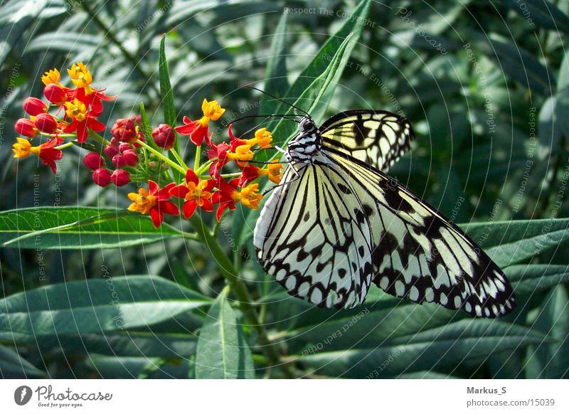 Schmetterling weiß schön schwarz Blüte
