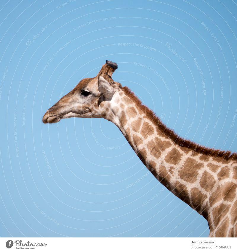 Safari! Ferien & Urlaub & Reisen Abenteuer Ferne Freiheit Natur Tier Wildtier Giraffe 1 wild Afrika Kalahari Namibia Hals Fell scheckig Etoscha-Pfanne