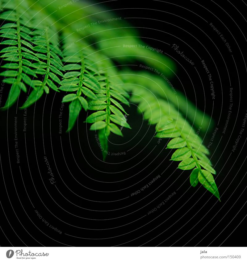 filicales Natur grün schön Pflanze schwarz Linie Park zart Farn Echte Farne