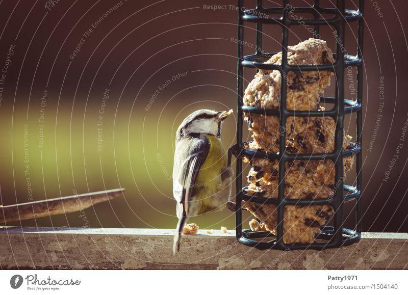 Blaumeise Natur blau weiß Tier gelb Vogel Wildtier Fressen füttern Überleben