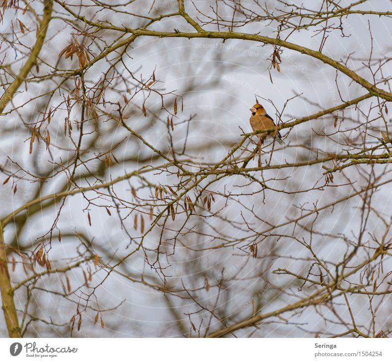 Kernbeißer (Coccothraustes coccothraustes) Pflanze Baum Tier Winter fliegen Vogel Park sitzen Flügel beobachten Tiergesicht