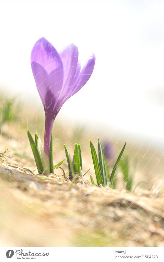Der große Durchbruch Natur Pflanze Frühling Blume Wildpflanze Krokusse Frühblüher Wiese natürlich Frühlingsgefühle Vorfreude Frühlingsblume violett Blühend