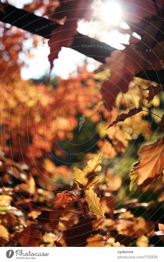 Rote Phase I Natur schön Baum Sonne Blatt Herbst Gefühle Landschaft Zeit ästhetisch fallen Vergänglichkeit Vergangenheit Erinnerung Zauberei u. Magie