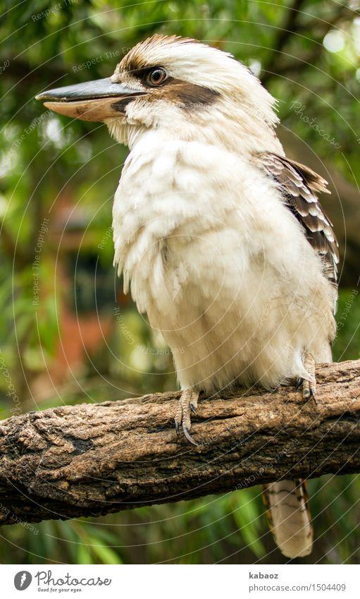 Kookaburra Natur Ferien & Urlaub & Reisen grün weiß Tier Freude Wald Umwelt Holz Glück braun Vogel Zufriedenheit Wildtier Fröhlichkeit genießen