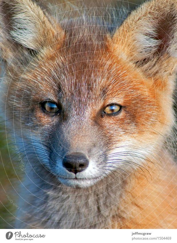 Baby Fox hautnah Natur schön Tier Tierjunges Wiese klein Wildtier sitzen beobachten hören kuschlig Fuchs knien