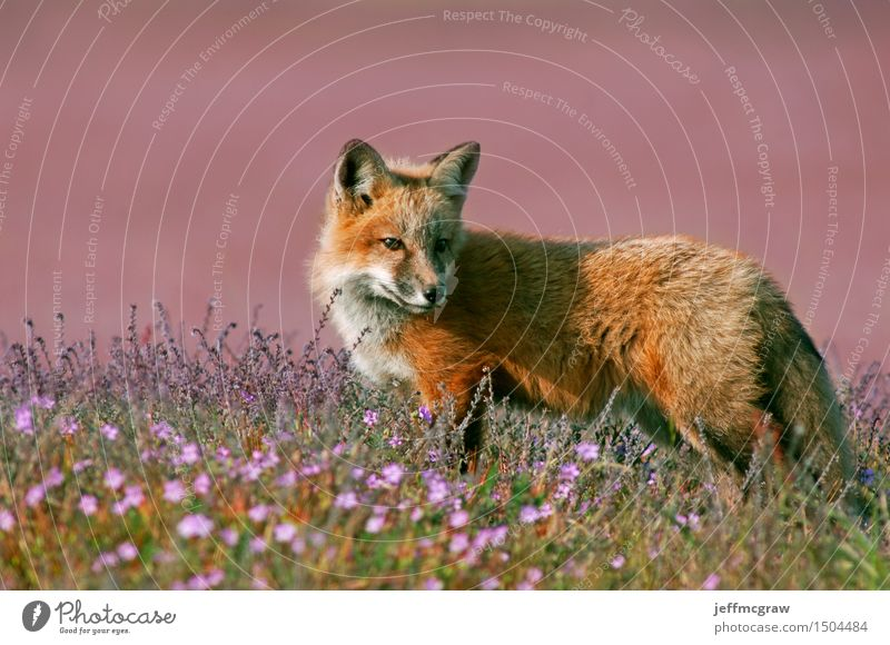 junger roter Fuchs Natur Pflanze schön Landschaft Tier Tierjunges Wiese Gras Spielen klein Wildtier laufen beobachten Schönes Wetter hören Jagd