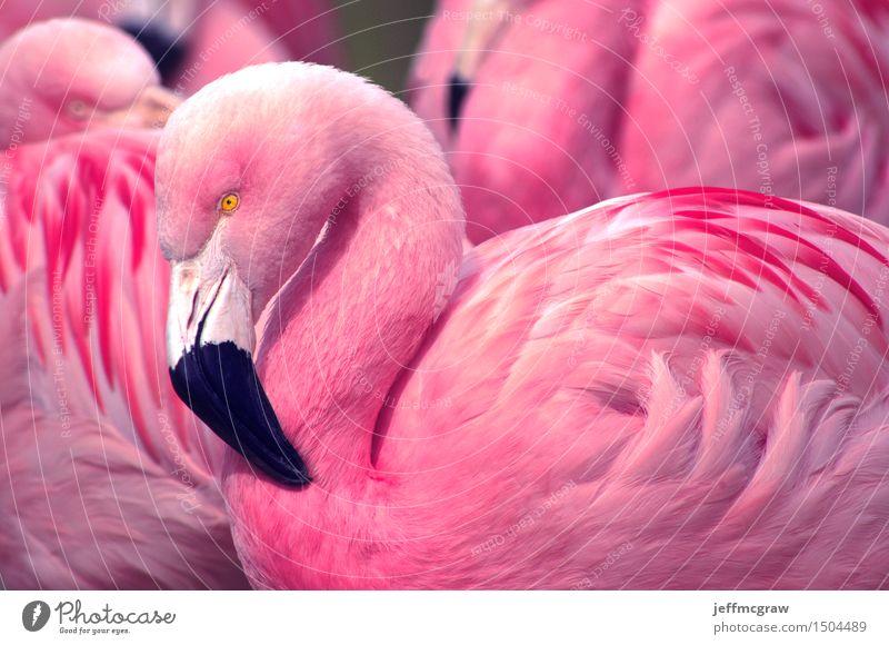 Chilenische Flamingos Natur Tier Teich Vogel füttern hören Blick Gesundheit hell schön rosa schwarz chilenisch Feder farbenfroh Schnabel Konsistenz Tierwelt