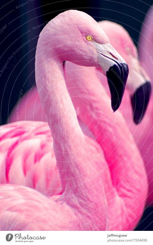 Chilenisches Flamingoportrait schön Tier Vogel hell rosa Wildtier Feder stehen beobachten einzigartig hören Haustier Teich Schnabel Geldscheine füttern