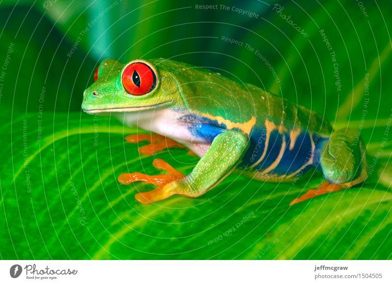 Rotäugiger Baum-Frosch auf Blättern Natur Pflanze Tier Blatt Haustier 1 hocken hören Jagd knien Lächeln Farbfoto mehrfarbig Nahaufnahme Detailaufnahme