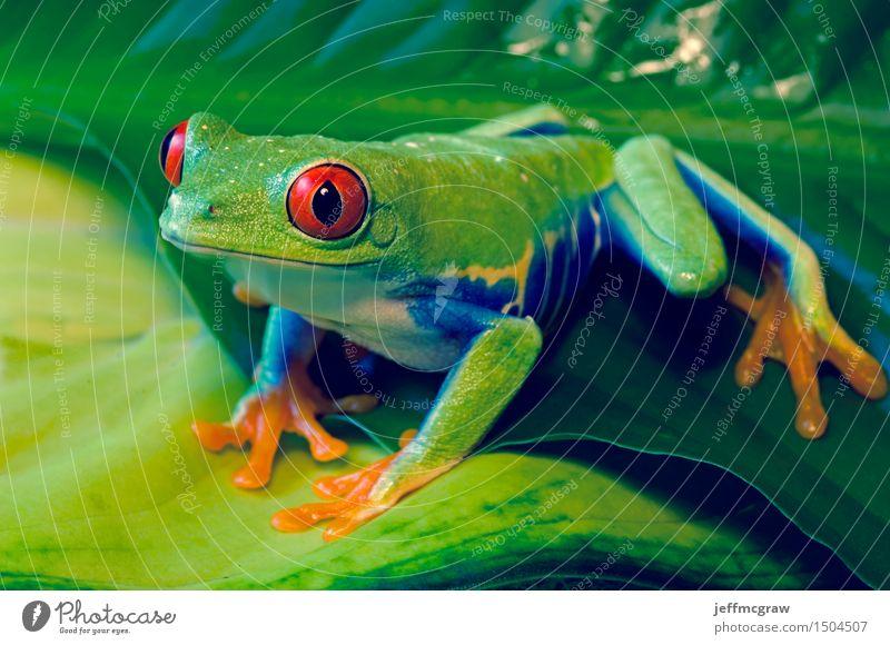 Rotäugiger Baum-Frosch auf Blättern Umwelt Natur Pflanze Tier Blatt Haustier Wildtier 1 hocken hören Jagd knien Farbfoto mehrfarbig Nahaufnahme Detailaufnahme