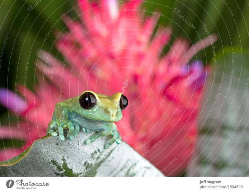 Laubfrosch auf Blatt Umwelt Natur Pflanze Tier Blüte exotisch Haustier Wildtier Frosch 1 Tierjunges hängen hocken hören Jagd Farbfoto mehrfarbig