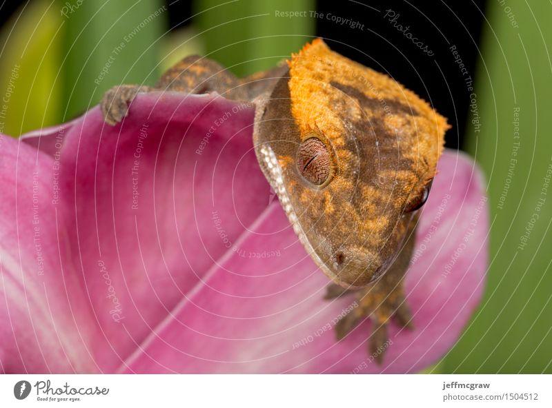 Gecko auf rosa Blume Tier Haustier Wildtier Tiergesicht Schuppen 1 hängen hocken hören Jagd krabbeln Lächeln Farbfoto mehrfarbig Nahaufnahme Detailaufnahme