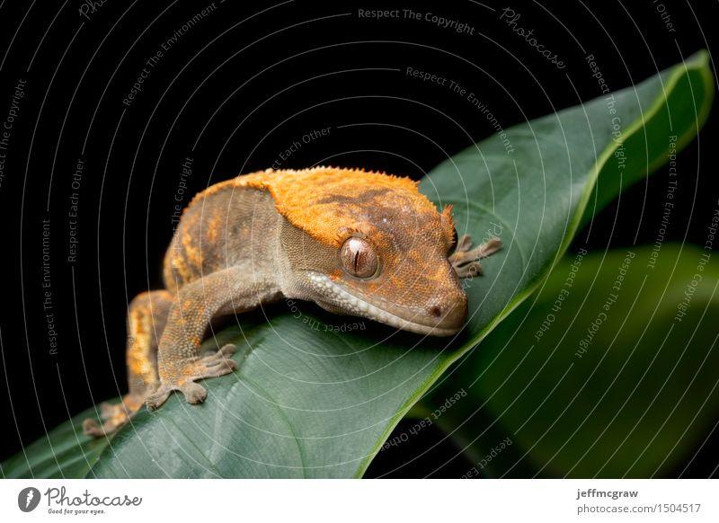 Gecko auf grünem Blatt Umwelt Natur Pflanze Tier Haustier Wildtier 1 hängen hocken hören Jagd Farbfoto mehrfarbig Nahaufnahme Detailaufnahme Makroaufnahme