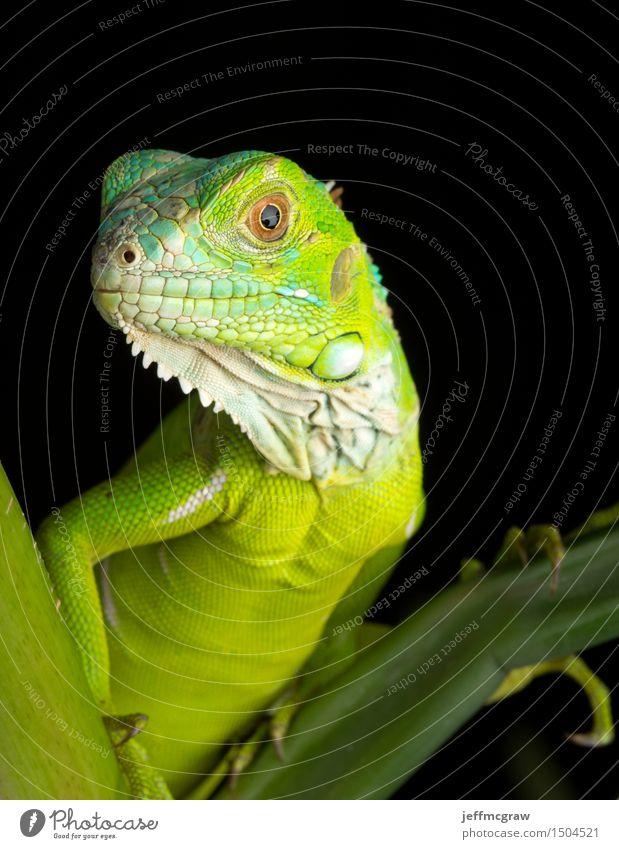 Junges Leguan-Porträt Natur Pflanze Landschaft Tier Tierjunges Wildtier hören Haustier hocken