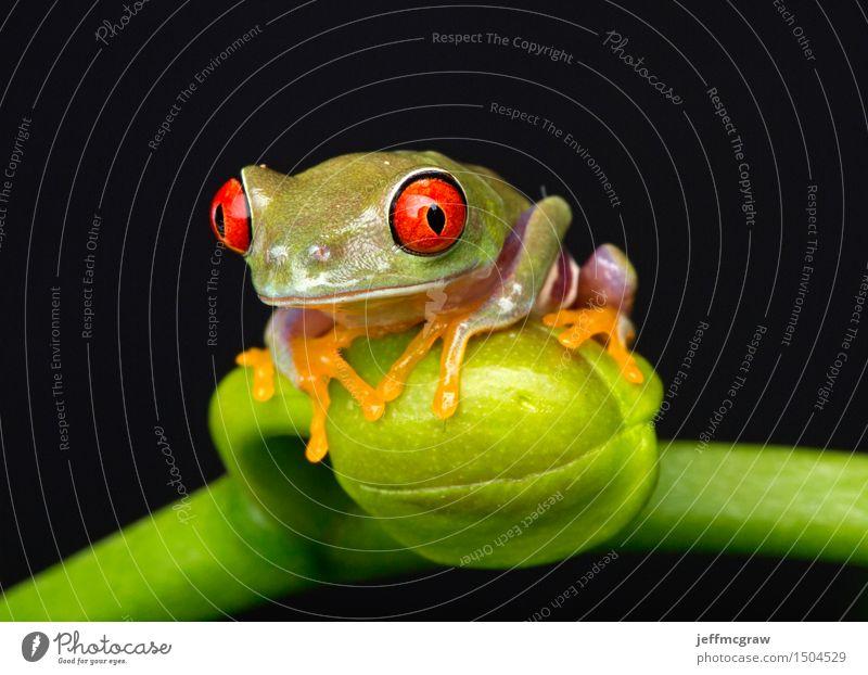 Baby-Frosch auf Blumen-Knospe Umwelt Natur Pflanze Tier exotisch Haustier Wildtier 1 Tierjunges hängen hocken hören Farbfoto mehrfarbig Nahaufnahme