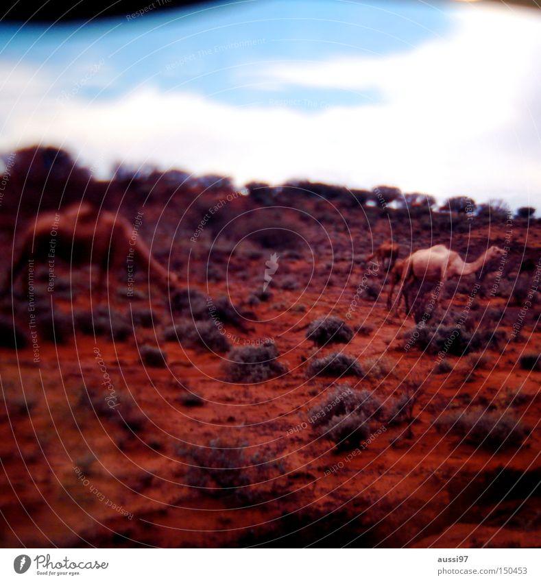 Dafür gehe ich meilenweit. Kamel Dromedar Wüste verbrannt Trampeltier Kamelhöcker Säugetier Wüstentier rote Erde