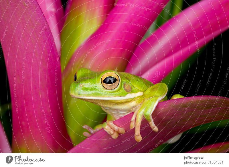 Riesiger Baum-Frosch auf bunten Blättern Natur Pflanze Tier Umwelt Wildtier exotisch hängen Haustier