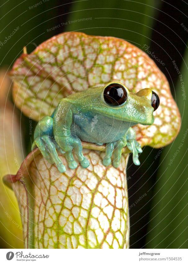 Natur Pflanze Tier Wildtier exotisch hängen Haustier Frosch