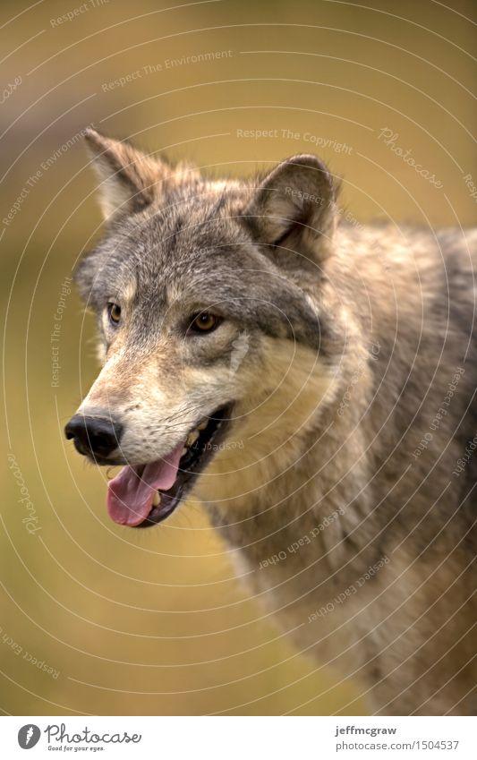 Nordamerikanischer grauer Wolf Natur schön Tier Wiese Gras Wildtier laufen beobachten hören Jagd muskulös