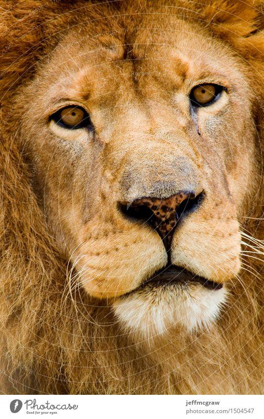Afrikanischer Löwe Tier Wildtier 1 Denken hören Jagd bedrohlich schön muskulös Farbfoto mehrfarbig Außenaufnahme Menschenleer Morgendämmerung Tag Tierporträt