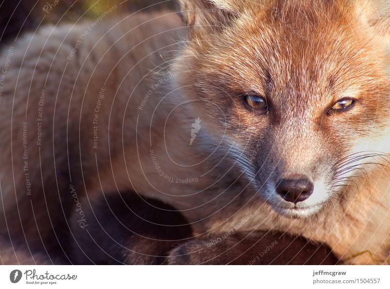 Baby-Fox-Porträt Tier Gras Wiese Wildtier Fuchs 1 Tierjunges hocken hören knien sitzen schön kuschlig klein Farbfoto mehrfarbig Außenaufnahme Textfreiraum links