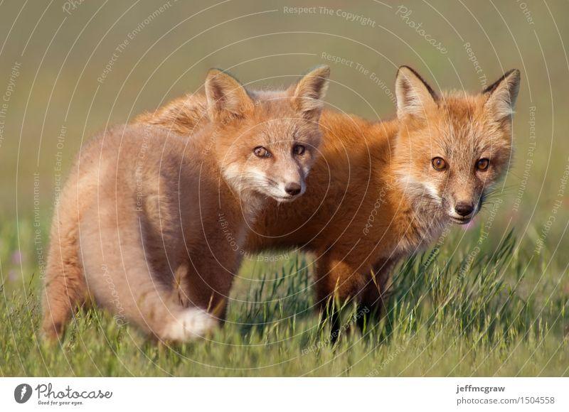 Junge Fox-Kits Umwelt Natur Pflanze Tier Sonnenlicht Gras Wiese Wildtier Fuchs 2 Tierjunges Spielen schön kuschlig klein natürlich Farbfoto mehrfarbig