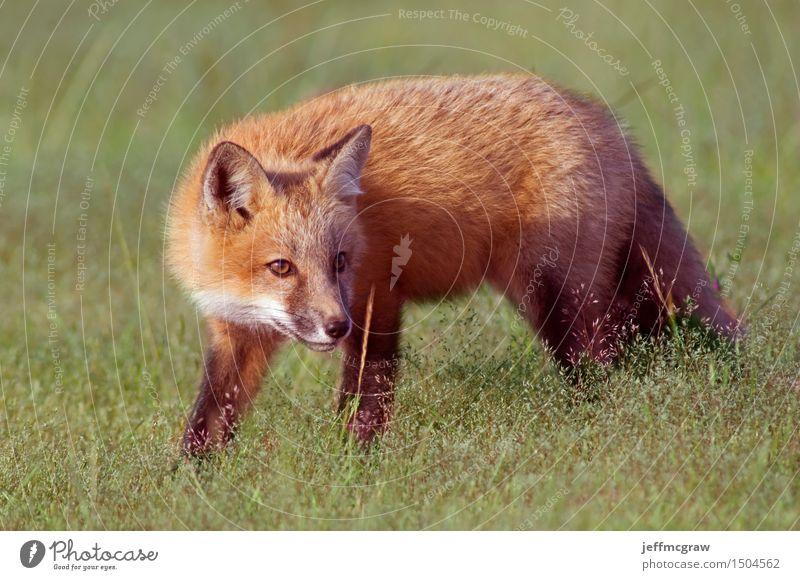 Junger Fox Out Exploring Umwelt Natur Pflanze Tier Frühling Sommer Gras Wiese Wildtier Fuchs 1 Tierjunges hocken hören Jagd Spielen schön kuschlig klein