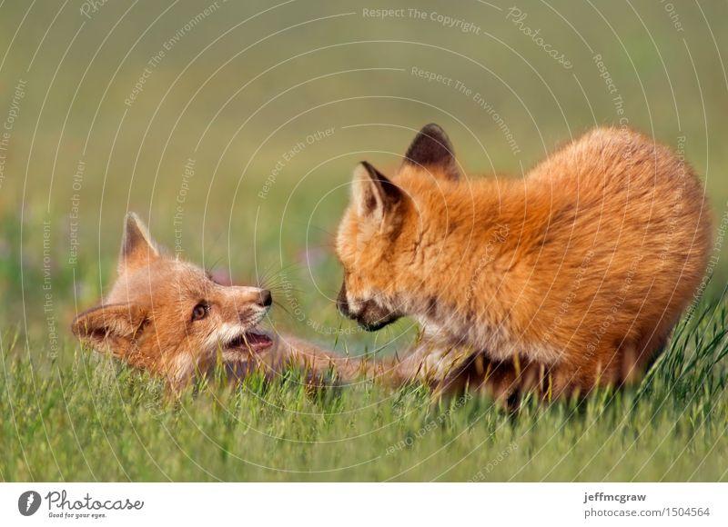 Junges Fuchsspiel Natur Pflanze schön Tier Tierjunges Umwelt Wiese Gras Spielen Wildtier Schönes Wetter kuschlig