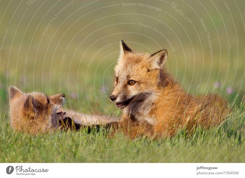 Junge Füchse spielen Natur Pflanze schön Tier Tierjunges Wiese Gras Spielen Glück Wildtier genießen Freundlichkeit kuschlig hocken Fuchs