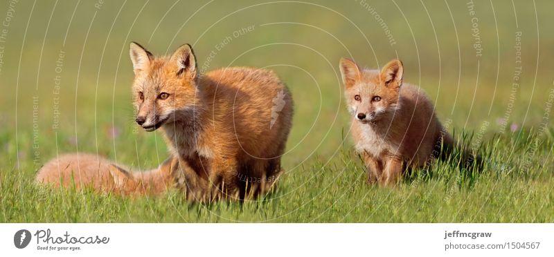 Junge Füchse auf dem Gebiet schön Tier Tierjunges Spielen klein Wildtier genießen kuschlig Fuchs