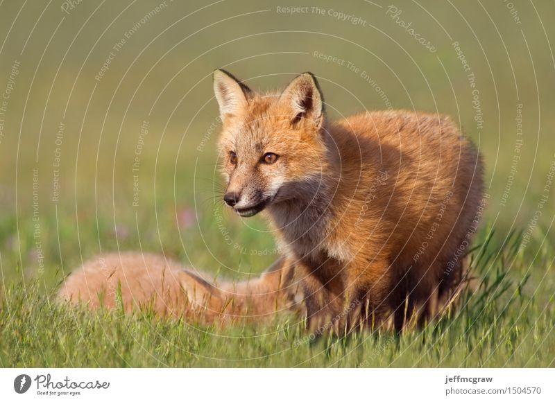 Junge Füchse Natur schön Landschaft Tier Tierjunges Wiese Gras Spielen klein Wildtier kuschlig Fuchs