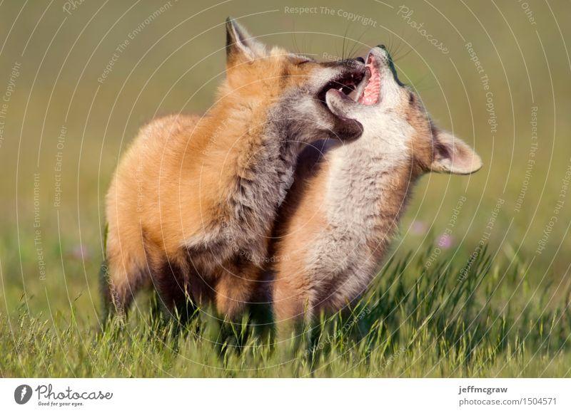 Junge Füchse beim Spielen Natur Landschaft Tier Frühling Sommer Gras Wiese Haustier Wildtier 2 Tierpaar Tierjunges Bewegung Farbfoto mehrfarbig Außenaufnahme