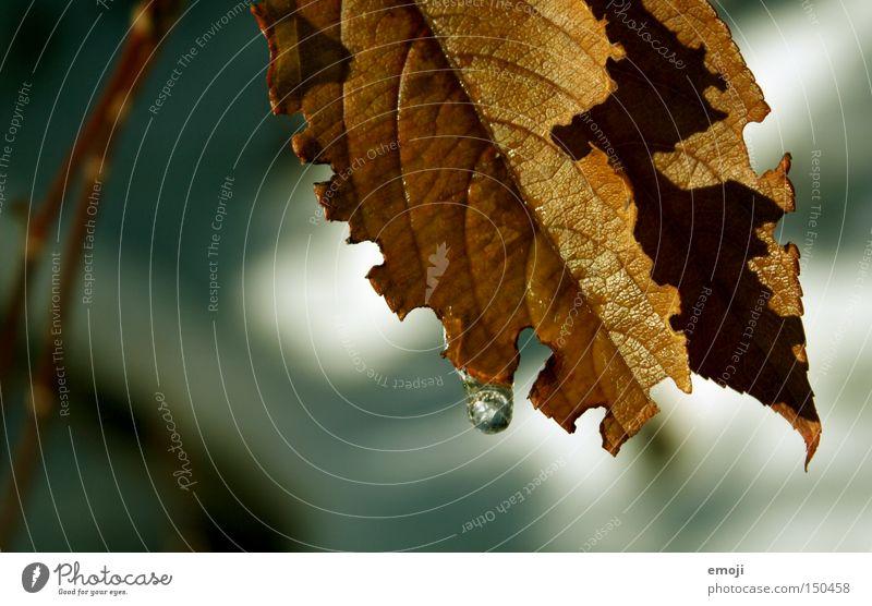 ° Natur Pflanze Blatt Herbst braun Wassertropfen