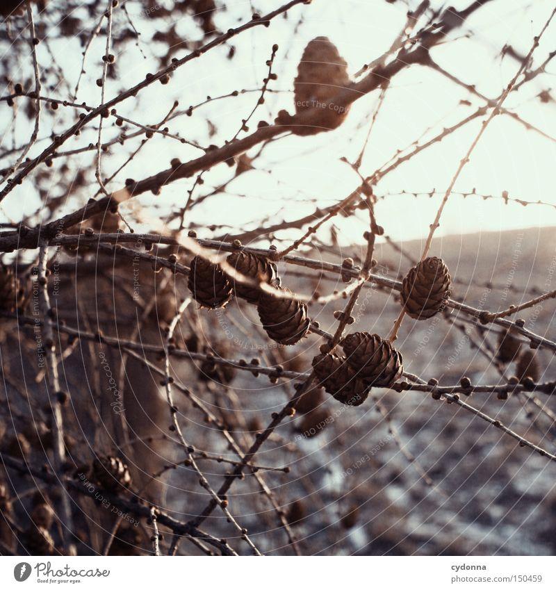 Zapfenstreich Natur Baum Winter Feld schlafen Ast zart Jahreszeiten kämpfen Zweig vertikal überwintern Nadelbaum Richtung Tannenzapfen