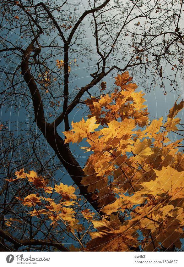 Wird Zeit Umwelt Natur Luft Wolkenloser Himmel Herbst Klima Schönes Wetter Baum Blatt Ahorn Ahornzweig leuchten verblüht dehydrieren gigantisch glänzend groß