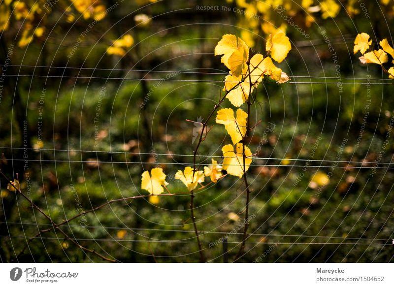 Reben im Herbst Natur Schönes Wetter Sträucher Blatt Farbe Stimmung Wein Weinberg Pflanze gelb Farbfoto Außenaufnahme Tag Kontrast