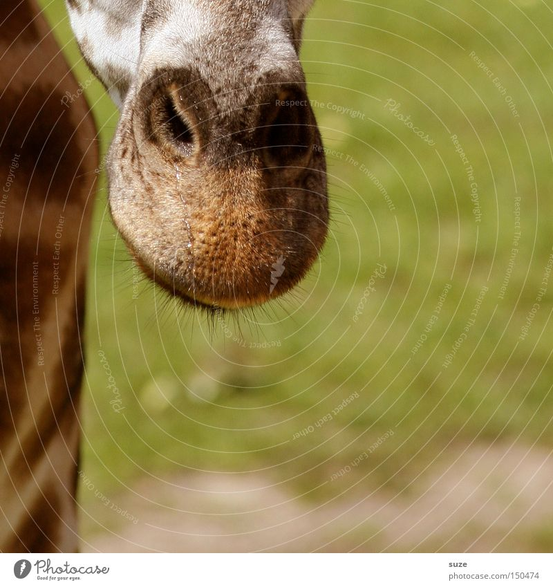 Nase vorn Tier Auge Gras Kopf Behaarung Wildtier Neugier Afrika Fell Hals Fleck Säugetier exotisch Wimpern