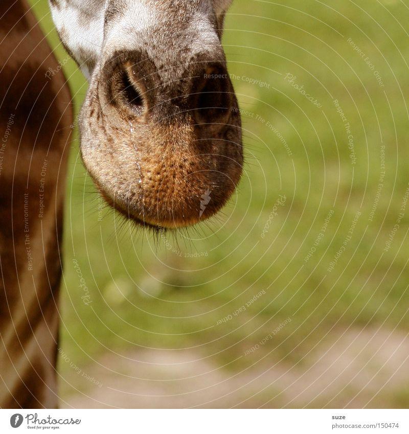 Nase vorn Tier Wildtier Giraffe 1 exotisch Tierliebe Neugier Kopf Hals Maserung Auge Wimpern Fleck Afrika Säugetier Farbfoto Außenaufnahme Nahaufnahme